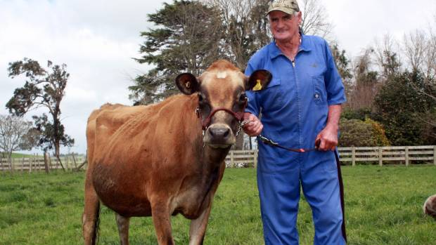 Otorohanga jersey cattle breeder Don Ferguson in 2013 with three-year-old jersey cow, Ferdon Folly's Lulu, one of the ...