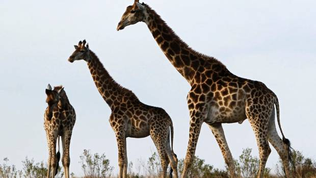 South Africa's safaris are a major drawcard for many New Zealanders.
