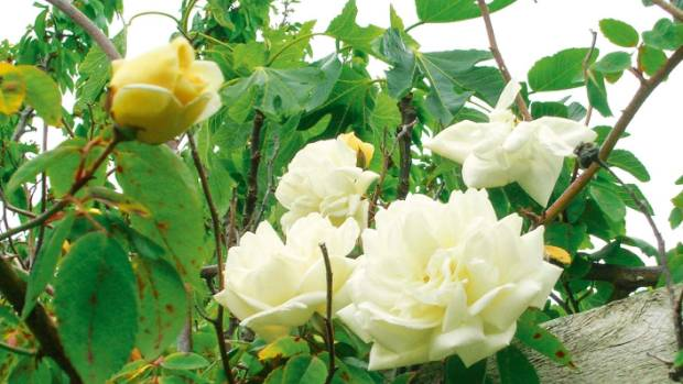 The 'Gardenia' rose has delightful creamy yellow pointed buds.