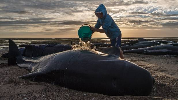 A volunteer waters down a pilot whale stranded on Farewell Spit.