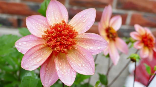 A dahlia in the Invercargill garden of Kit and Walter Jack.