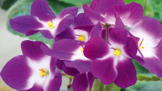 African violet 'Dali'.