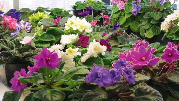Betty Enticott's conservatory, brimming  with African violets.