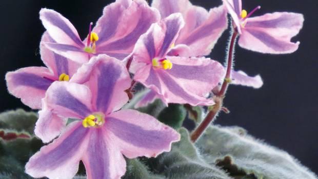African violet 'Tineke'.