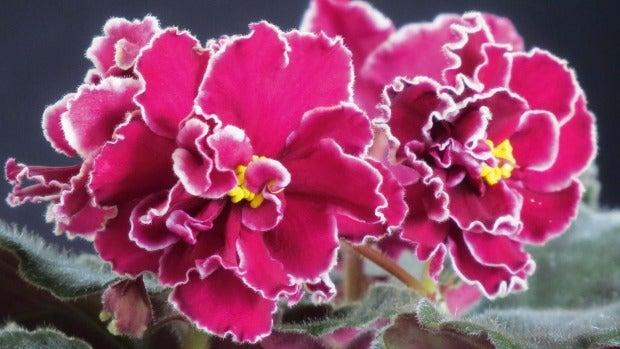 African violet 'Powder Keg'.