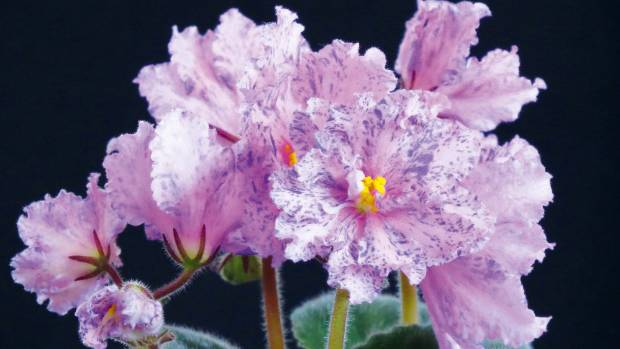 African violet 'Neptune's Jewels'.
