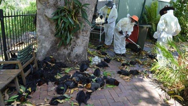 Richmond Valley Council workers continue to remove dead bats on Tuesday morning following the weekend heatwave.