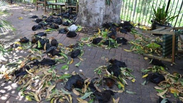 Bats dropped dead from the trees around Casino in the weekend heatwave.