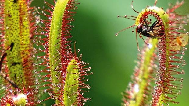 Sundews (Drosera capensis) coat themselves in drops of nectar.