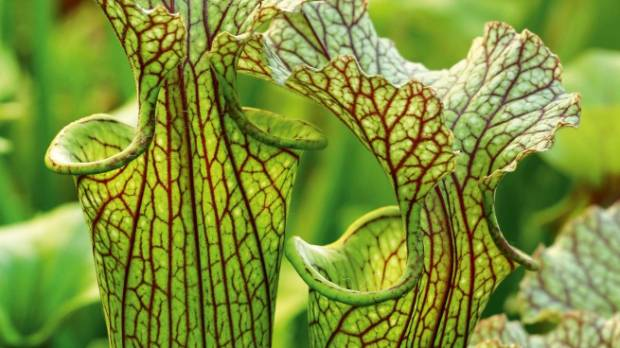 Sarracenias grown by Ross Taylor.