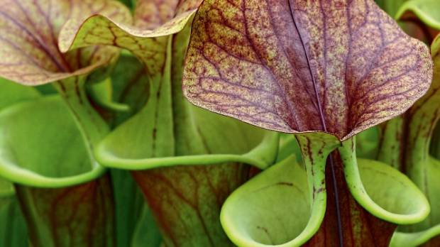 Also known as pitcher plants, Sarracenias lace their nectar with a chemical that has a sedative effect on the insect prey.