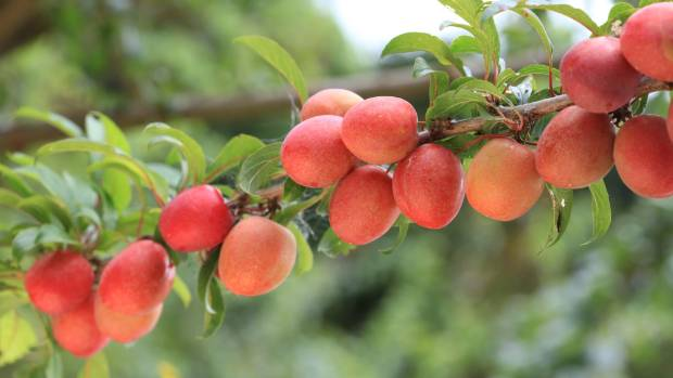 Keep fruit trees well watered while the fruit are ripening.
