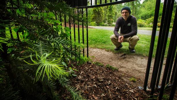 The Jurassic Wollemi pine planted in a protective cage while it grows. Tended here by a curator, Guillaume Jacob.