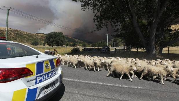 Sheep being moved as the fire front is blown into Happy Valley now consumed by the huge fire on the Port Hills.
