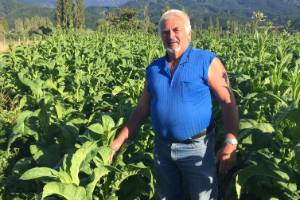 Motueka Valley's Laurie Jury with what could be his last tobacco crop.