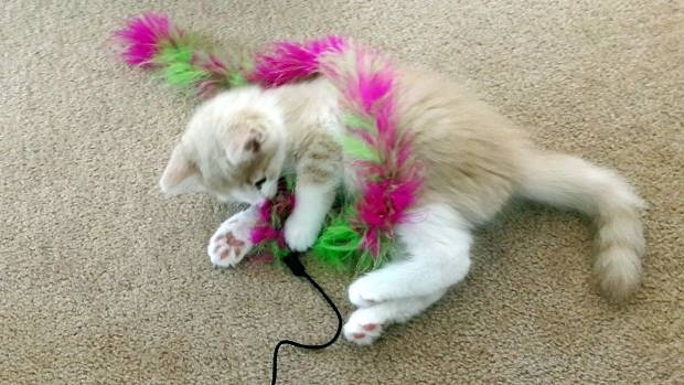 Cats and their toys, missmeowni.com