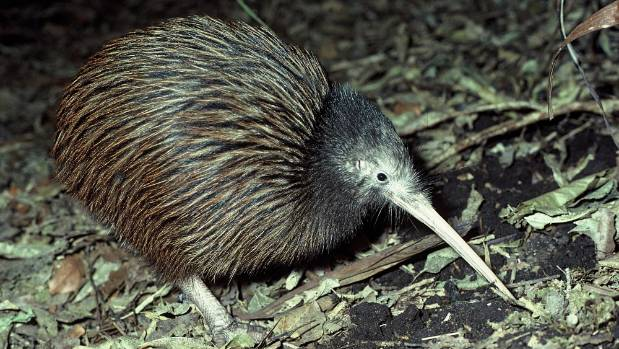 The killed kiwi were part of a re-population scheme in the Hunua Ranges (file photo).