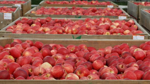 About 90 per cent of apples grown in New Zealand are exported overseas.
