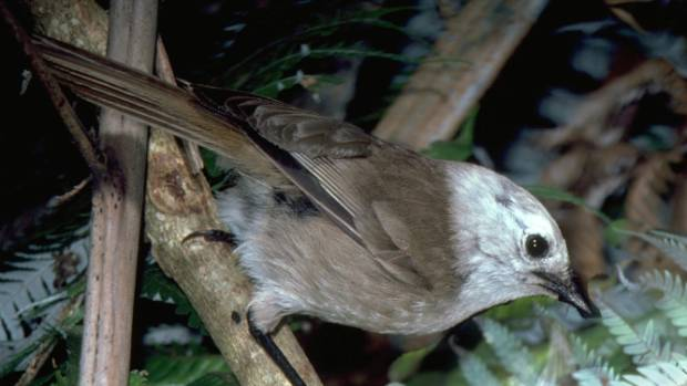 Gregarious whitehead were the first translocated bird at Shakespear Open Sanctuary.