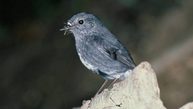 North Island Robin released at Tawharanui have thrived but are now vulnerable to rats as they spill outside the sanctuary.