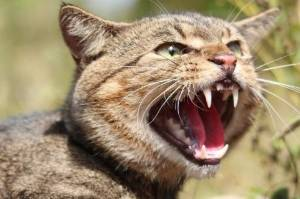 Feral cats are considered the single biggest threat to native wildlife in Australia.