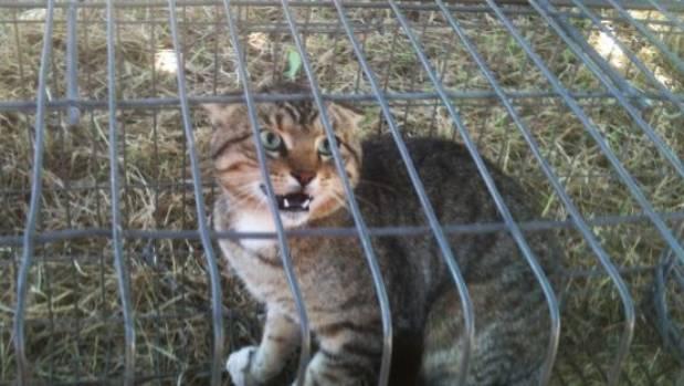 Le autorità australiane stanno decimando i gatti randagi