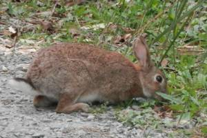 Environment Canterbury (ECan) is seeking permission to release a variant of rabbit haemorrhagic disease on behalf of the ...