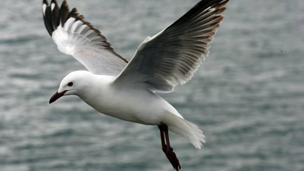 Black-billed gulls are only found in New Zealand, and some estimates say their numbers have dropped 75 per cent in 30 years.