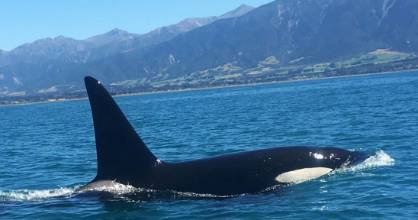 One of a large pod of orca which visited Kaikoura last week.