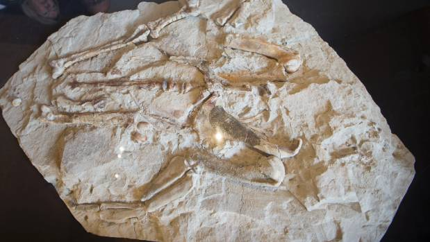 A 28 million-year-old penguin fossil has officially become part of the museum's permanent collection.