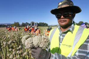 Supervisor Kitja Santanut oversees 19 workers from Thailand to harvest onion flower heads by hand in Marlborough.
