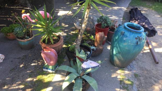 Some of the large pot plants which were seized from the property.