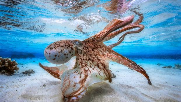 "Underwater Photographer of the Year 2017: Gabriel Barathieu's ""Dancing Octopus"" photo was taken in the lagoon of the ..."