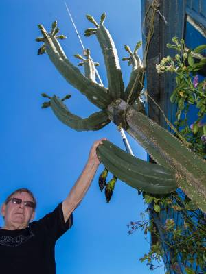 Bill Lockwood has a really big cactus on his Ashhurst property.
