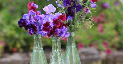 Scented sweet peas.