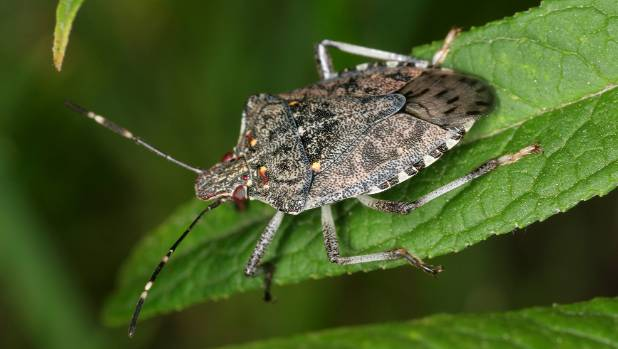 The brown marmorated stink bug has the potential to cause huge damage to NZ horticulture.