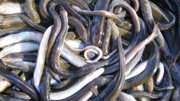 Dead eels from the toxic discharge.