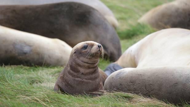 Sea lion pups make a comeback stuff a sea lion pup amongst the adults on the subantarctic auckland islands publicscrutiny Images