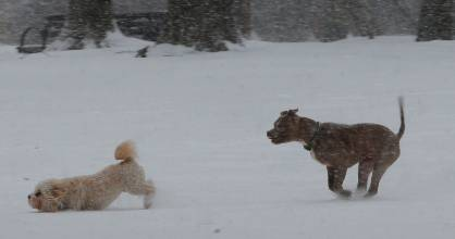 Two dogs play in the snow during a winter snow storm in Massachusetts. But not all dogs enjoy storms.