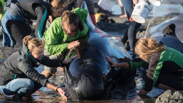 Volunteers help keep pilot whales alive after a mass stranding at Farewell Spit in February.
