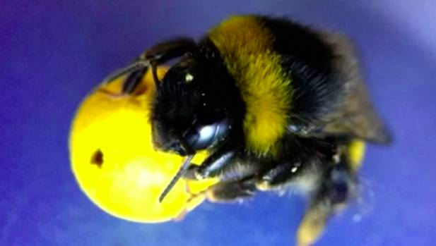 Scientists trained 50 bees on how to play the game by incentivising them with sweet treats.