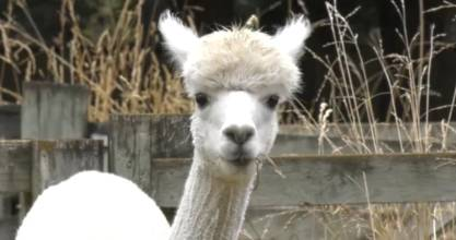 NZ alpacas are going to France.