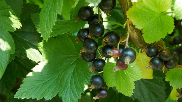 Feed blackcurrants well and they'll reward you with bumper crops.