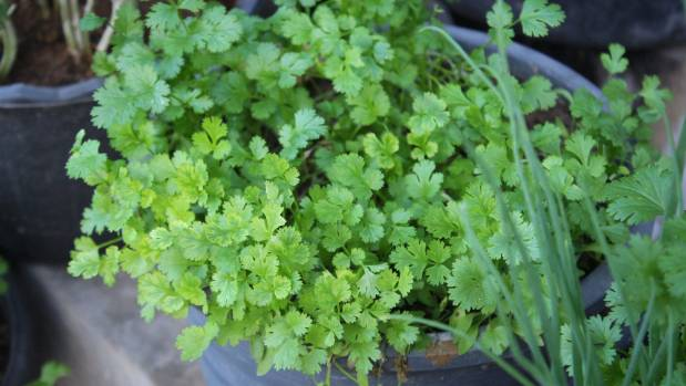 Sow a small patch of coriander every month for an ongoing supply.