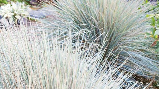 Blue fescue (Festuca glauca) forms a compact mound of needle-like silvery leaves.  Combing out the old growth improves ...