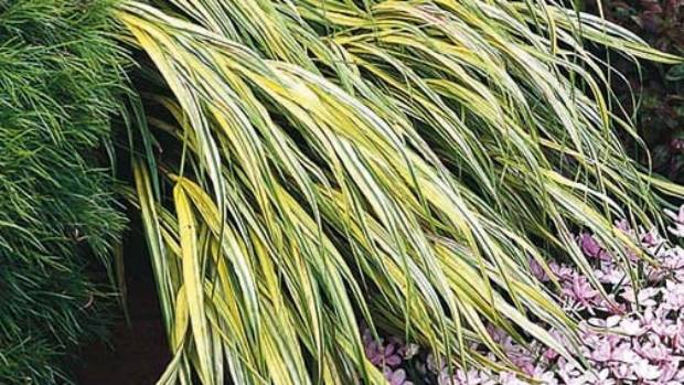 Gold-striped hakone grass (Hakonechloa macra 'Aureola') keeps its colouring even in light shade.