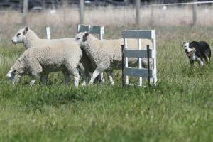 Flaxbourne edged out Awatere in the Nelson Marlborough sheep dog trial round at Seddon.