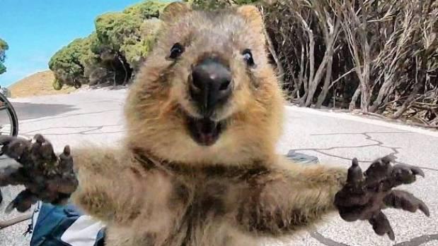 Snap-happy quokka takes cute selfie on Australia's ...  Snap-happy quok...
