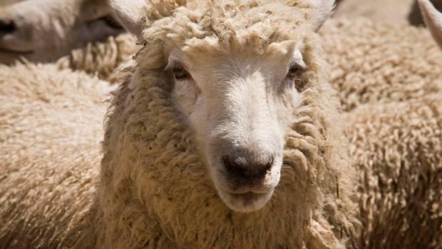 The tastiest and tenderest lamb finalists include three North Islanders.