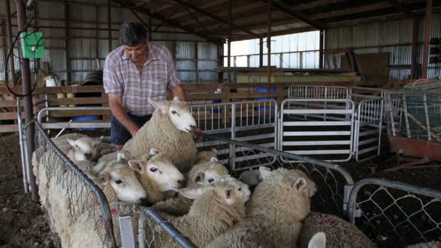 Robert Gardyne runs his eye over ram lambs at East Limehills.